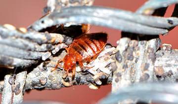 Polti Cimex Eradicator against Bed Bugs